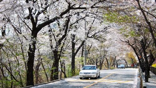 집 주변에서 봄꽃 즐겨요…서울시 명소 160곳 소개