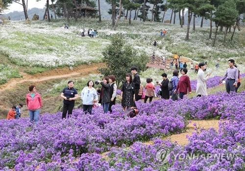 올 가을 정읍 구절초 꽃축제 코로나19 확산에 취소