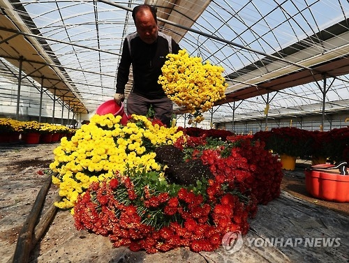 A farmer disposes of unsold flowers at a greenhouse south of Seoul on Oct. 25, 2016. (Yonhap)