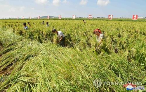 N. Korea's harvest estimated to come below average, aggravate food shortages: report