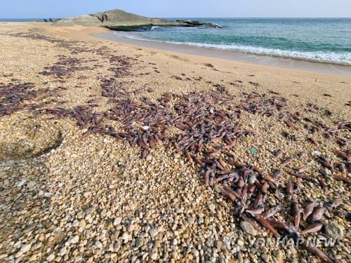 Dead firefly squid cover a beach in Goseong on South Korea's east coast on Jan. 14, 2021. (Yonhap)