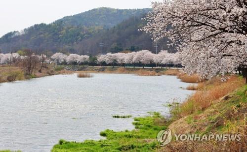 충남 천안 위례 벚꽃길