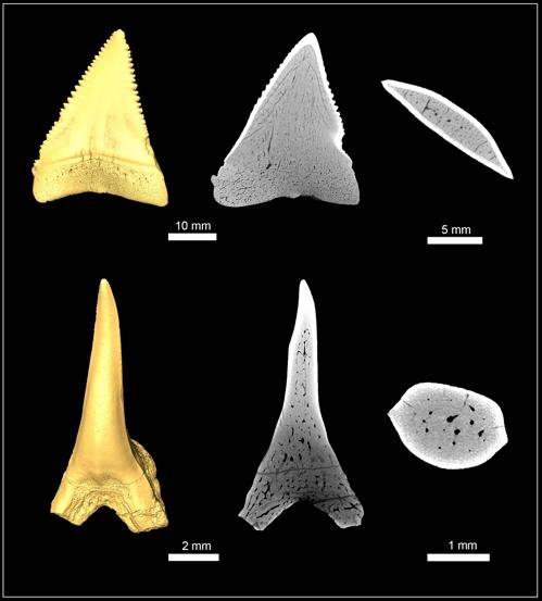 백상아리(상단)와 팔라이오카르카리아스의 이빨 구조