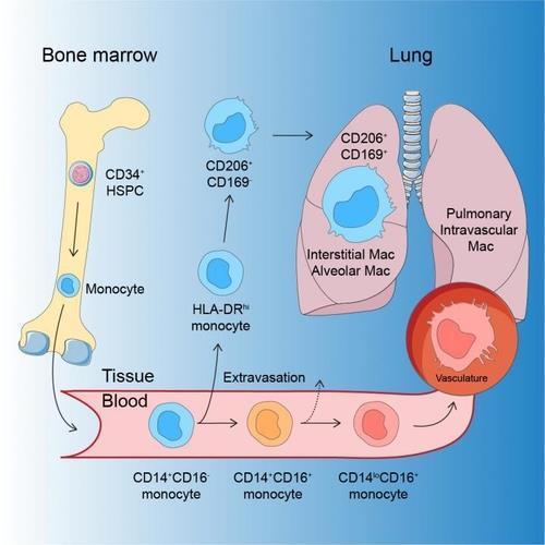 폐 대식세포의 발달 과정