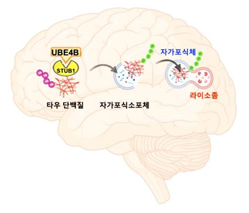 치매 원인물질 타우 단백질이 UBE4B와 STUB1 분자 작용에 의해 자가포식체를 경유해 분해되는 과정 [한국과학기술연구원 제공. 재판매 및 DB 금지]