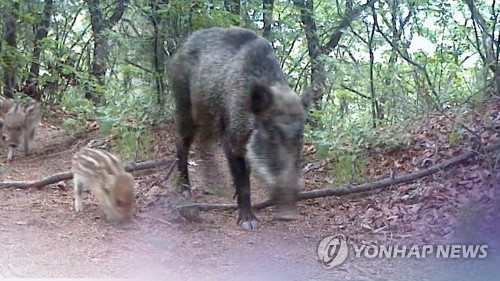 Swine fever-infected wild boars on steady rise in S. Korea