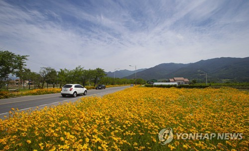 Coreopsis in bloom beside road leading to Hwaeom Temple