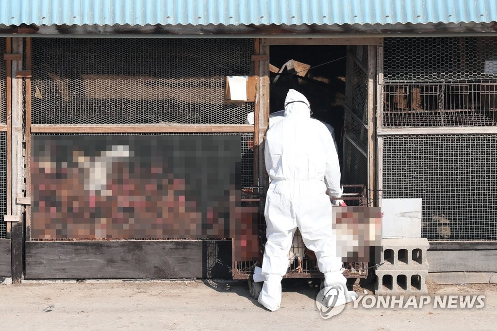 A quarantine official culls chickens at a farm in Hwaseong, south of Seoul, on Feb. 19, 2021, in an effort to contain the spread of bird flu. (Yonhap)